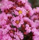 Chinesische Kräuselmyrte Petite Pink® 25-30cm - Lagerstroemia indica
