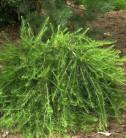 Europäische Lärche Bogle 25-30cm - Larix decidua