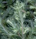 Hochstamm Zwerg Lärche Grey Pearl 40-60cm - Larix decidua