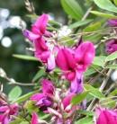 Zweifarbiger Buschklee 40-60cm - Lespedeza bicolor