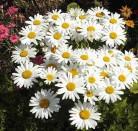 Gartenmargerite Gruppenstolz - Leucanthemum