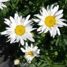 Gartenmargerite Polaris - großer Topf - Leucanthemum superbum