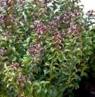 Traubenheide Makijaz® 30-40cn - Leucothoe fontanesiana