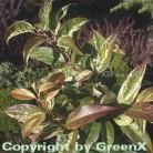 Buntblättrige Traubenheide Rainbow 25-30cm - Leucothoe walteri