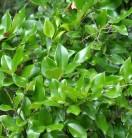 Japanischer Liguster Texanum 30 - 40cm - Ligustrum japonicum