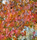 Amerikanischer Amberbaum Autumn Color 60-80cm - Liquidambar styraciflua