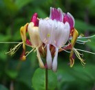 Geißschlinge America Beauty 100-125cm - Lonicera heckrottii
