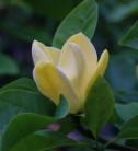 Magnolie Blue Opal 80-100cm - Magnolia acuminata