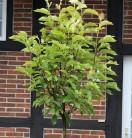 Hochstamm Tulpen Magnolie Heaven Scent 80-100cm - Magnolia soulangiana