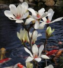 Hochstamm Magnolie Sunrise 100-125cm - Magnolia