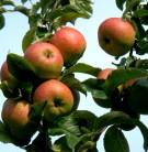 Apfelbaum Roter Berlepesch 60-80cm - weich und säuerlich