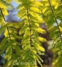 Urweltmammutbaum Chinesisches Rotholz Gold Rush 100-125cm - Sequoiadendron giganteum