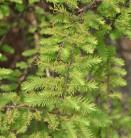 Urweltmammutbaum Miss Grace 60-80cm - Metasequoia glyptostroboides