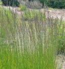 Riesen Pfeifengras Skyracer - Molinia arundinacea