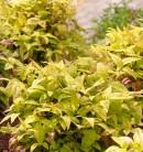 Himmelsbambus Brightlight 60-80cm - Nandina domestica