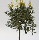 Hochstamm Herbstduftblüte Goshiki 40-60cm - Osmanthus heterophyllus