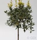 Hochstamm Herbstduftblüte Goshiki 80-100cm - Osmanthus heterophyllus