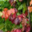 Eisenholzbaum Bella 40-60cm - Parrotia persica