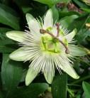 Passionsblume Constance Elliot - Passiflora caerulea