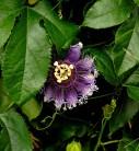 Passionsblume Purple Haze - Passiflora caerulea