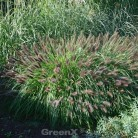 Lampenputzergras Moudry - großer Topf - Pennisetum alopecuroides