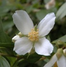 Gartenjasmin Lemoinei 80-100cm - Philadelphus