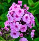 Hohe Flammenblume Fancy Nancy - Phlox Paniculata