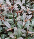 Glanzmispel Devils Dream® 40-60cm - Photinia fraseri