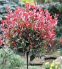 Hochstamm Glanzmispel Little Red Robin 80-100cm - Photinia fraseri
