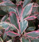Glanzmispeln Pink Marble 30-40cm - Photinia fraseri