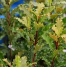 Chinesische Glanzmispel Crunchy® 30-40cm - Photinia serratifolia
