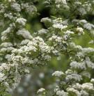 Scharlach Glanzblattmispel 60-80cm - Photinia villosa