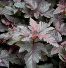 Blasenspiere Lady in Red 80-100cm - Physocarpus opulifolius