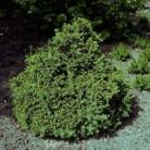 Zwerg Fichte Tompa 30-40cm - Picea abies