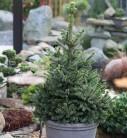 Zwergfichte Wills Zwerg 50-60cm - Picea abies