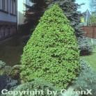 Zuckerhut Fichte 125-150cm - Picea glauca