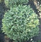 Picea orientalis Aurea Kaukasus Fichte Aurea 60-70cm