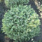 Zwerg Serbienfichte Little Boy 40-50cm - Picea omorika