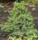 Serbische Zwergfichte Wodan 50-60cm - Picea omorika