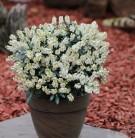 Schattenglöckchen Lavendelheide Debutante 60-70cm - Pieris japonica