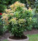 Schattenglöckchen Lavendelheide Passion® 30-40cm - Pieris japonica