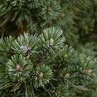 Hochstamm Fuchschwanz Kiefer Sherwood Compact 40-60cm - Pinus aristata