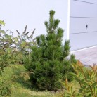 Bosnische Zwerg Kiefer Irish Bell 50-60cm - Pinus densiflora
