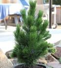 Zwerg Schlangenhautkiefer Little Dracula 15-20cm - Pinus leucodermis