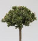 Hochstamm Zwerg Bergkiefer Benjamin 60-80cm - Pinus mugo