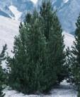 Bergkiefer Green Column 70-80cm - Pinus mugo