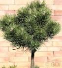 Hochstamm Kugelkiefer Mops 60-80cm - Pinus mugo