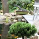 Hochstamm Zwerg Kiefer Picobello 60-80cm - Pinus mugo