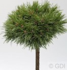 Hochstamm Kompakte Kugelkiefer Varella 60-80cm - Pinus mugo Varella