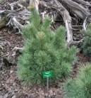 Die Zwergseidenkiefer Macopin 50-60cm - Pinus strobus